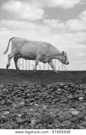 Single Cow Feeding On The Lush Grass