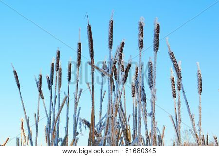 Cattail frosen in snow against the blue sky background