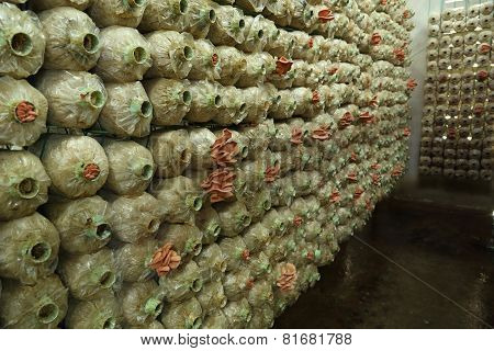 Pink Oyster Mushroom (pleurotus Djamor) On Spawn Bags