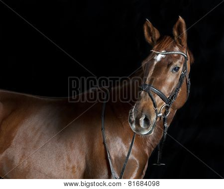 Oldenburger Riding Horse