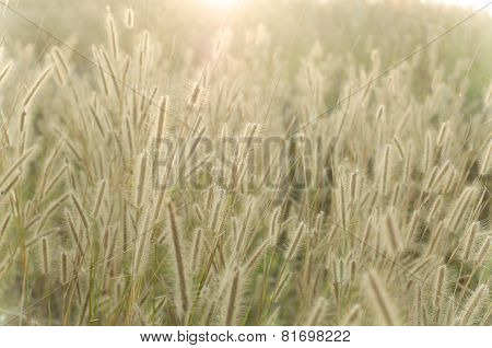 Pennisetum Pedicellarum Weed Plant Flower
