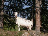 Smiling goat near big rock mountaint. poster