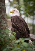 American Bald Eagle wildlife predator bird symbolizing strength and national pride poster