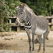 Grevy's zebra (Equus grevyi) also known as Imperial zebra poster