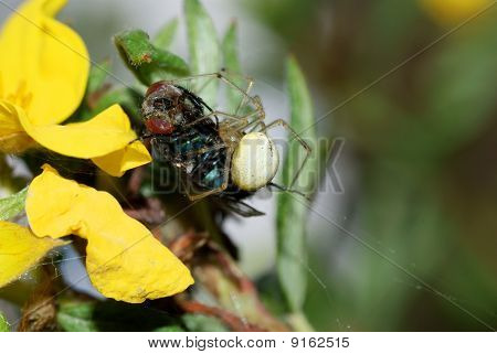 Spider With Lunch