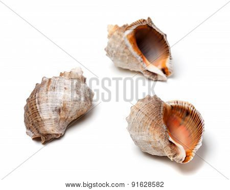 Three Shells From Rapana On White Background