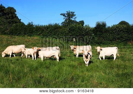 Charolais Cattle Soft Evening Light