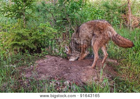 Adult Coyote (canis Latrans) Digs In Den