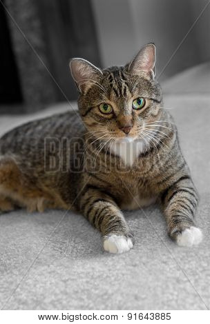 Domestic Tabby Cat On Carpet