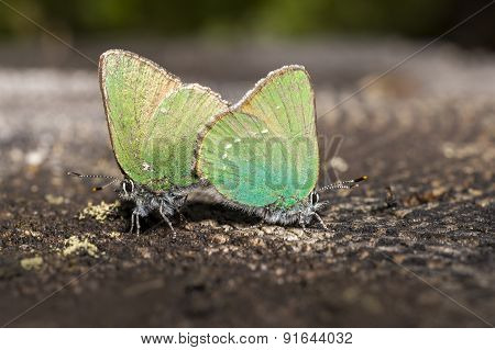 The Green Hairstreak, Callophrys rubi