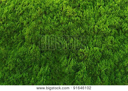 Evergreen conifer abstract background.