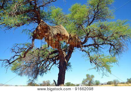 Sociable Weaver nest