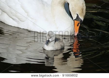 Beautiful Mute Swan with her 3 day old baby cygnet