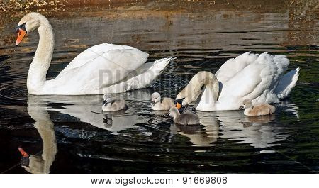 Family of Mute Swans out for a morning swim - Cygnets are 3 days old