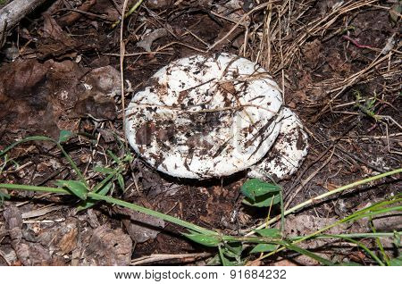 White Lactarius In The Forest