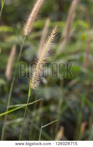 Hairy Fountain Grass Flower