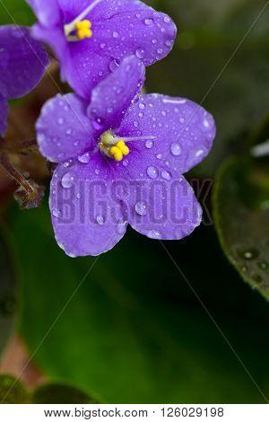Purple African Violets Flowers Macro. Selective focus.