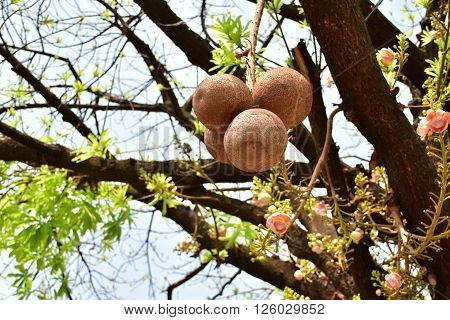 Shorea robusta fruit also known as sakhua or shala fruit.