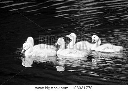 Black and white shot of cygnets in a lake
