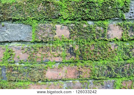 SELANGOR, MALAYSIA -JUNE 04, 2015: The surface of clay brick in overgrown by moss green.