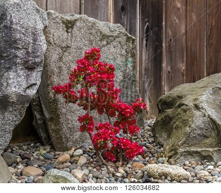 Small red flowers blooming on the bush in spring garden on gray background