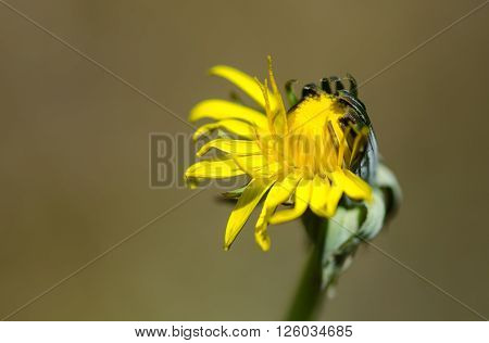 Dandelion (Taraxacum officinale agg.) flower half open. Common yellow plant in the daisy family (Asteraceae) blossoming asymmetrically in a British meadow