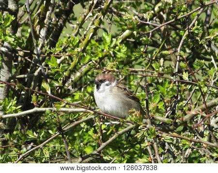 Tree Sparrow in a hawthorn hedge on a sunny spring day