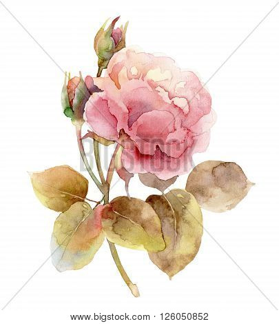 Single gentle pink rose isolated on white background. Watercolor illustration