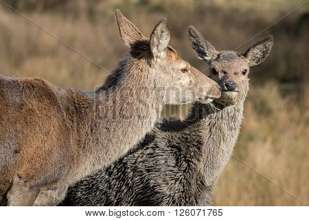 Red deer doe and fawn. Cose up head image of mother kissing fawn.