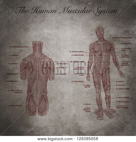 old educational document of general medicine, The human muscular system part of body