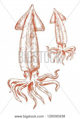 Atlantic ocean red squid isolated sketch icon. Vintage engraving drawing of marine animal for seafood restaurant or aquarium mascot, t-shirt print or tattoo design