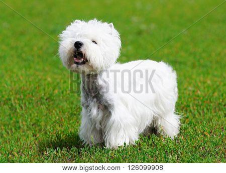 West highland terrier dog standing on green grass