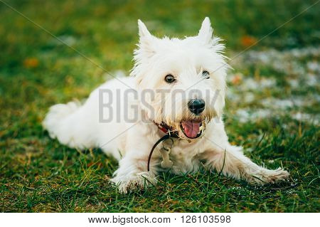 West Highland White Terrier - Westie, Westy Dog Sit in Grass