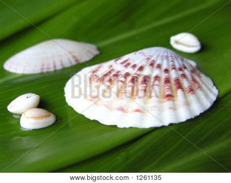 Wet Shells On Ti Leaves