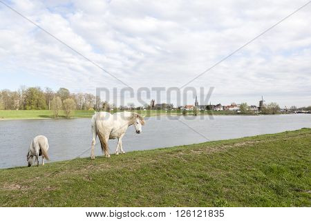 white horses graze on rhine embankment opposite stronghold wijk bij duurstede in the netherlands under cloudy sky
