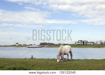 white horse grazes near ferryboat on river rhine at Wijk bij Duurstede in holland