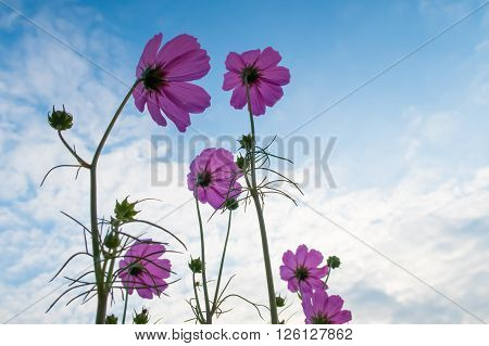 Pink Cosmos Flower Family Fompositae.