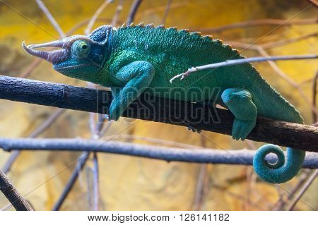 Green-blue chameleon sitting on the branch in terrarium
