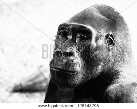 Close-up profile of lowland gorilla, Gorilla gorilla. Black and white image.