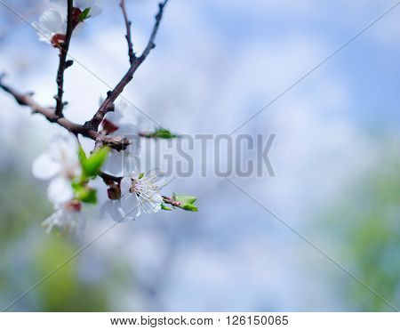 Branch with beautiful apricot flowers against the background of a blue sky in the spring as a flower spring background (shallow DOF selective focus) with copy space on the right for your text