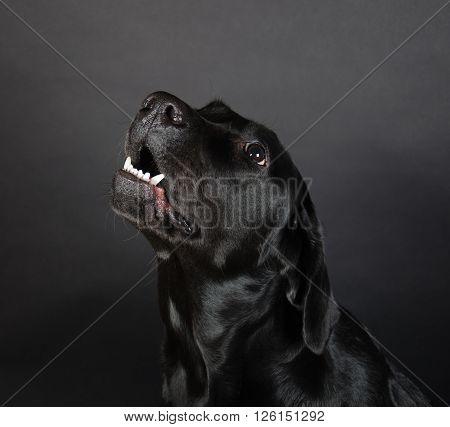 Growling Labrador Retriever (on a black background)