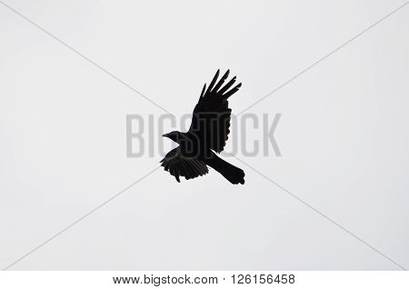 Silhouette of crow flying high in the sky.
