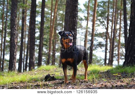 Dog of breed a Rottweiler stands in a pine forest and looks into the distance.