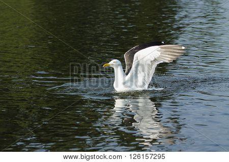Landing Lesser Black-backed Gull. This Lesser Black-backed Gull lands on water