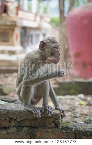 A rhesus macaque eats sitting on the ruins of the temple monkeys.