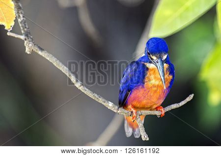 Azure Kingfisher in Australia