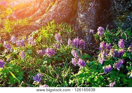 Blooming Corydalis halleri or Corydalis solida under the tree in the forest. Spring sunset landscape. Shallow depth of field. Selective focus at the central flowers.
