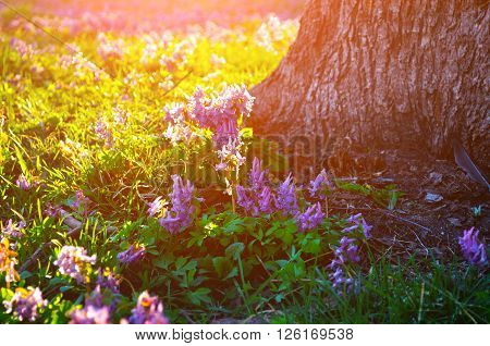 Blooming mauve little flowers of Corydalis halleri under the tree in the forest. Spring sunset landscape. Shallow depth of field. Selective focus at the central flowers.
