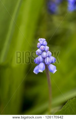 Muscari Liliaceae spring flower outdoor in the meadow