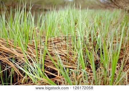 Grass In The Swamp